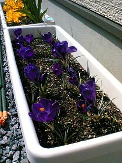 紫クロッカス満開