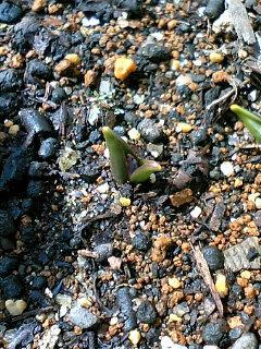 チオノドクサ芽
