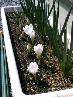 白クロッカスも咲き出した