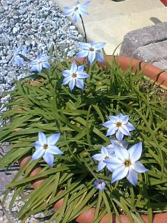 ハナニラお花