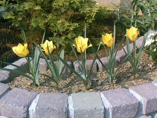 原種チューリップ咲いた咲いた