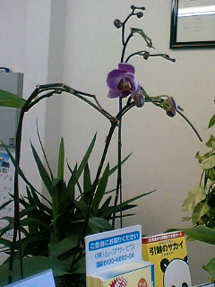 胡蝶蘭咲いた