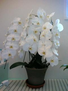 素焼き鉢胡蝶蘭