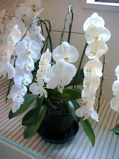 大きな株の胡蝶蘭
