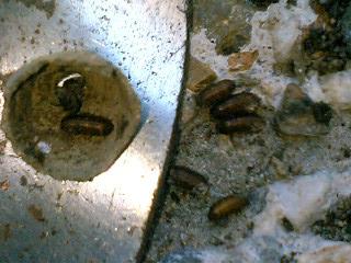 中には蛹の抜殻7こ