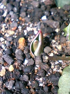 チューリップ発芽