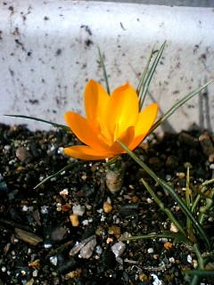 黄色クロッカス初花2008