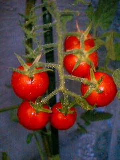 080728トマト2段目