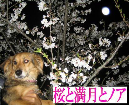 満月も桜も・・・