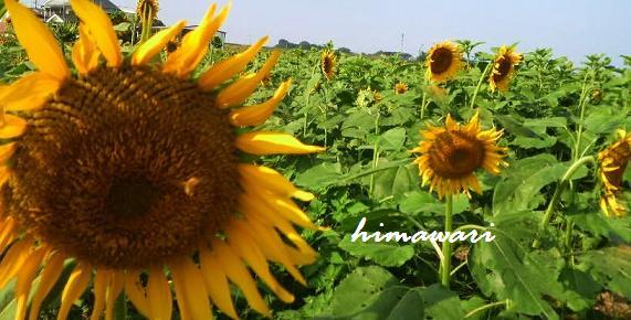 himawari6767