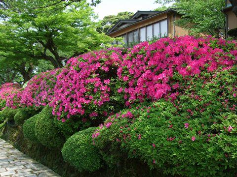 20080507_tsutsuji.jpg