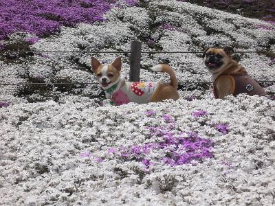芝桜とはなプップ。