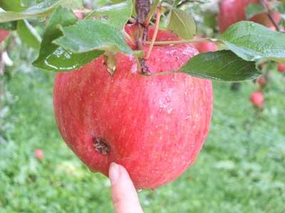 ひょうの被害を受けたりんご