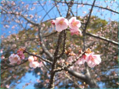 福成寺の寒桜 クリック拡大