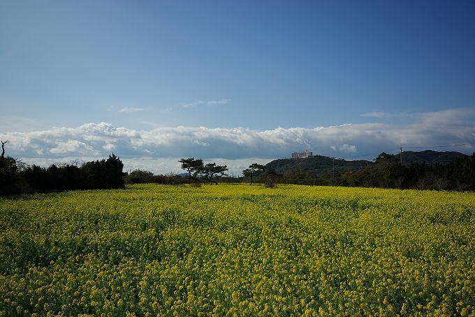 伊良湖の菜の花畑