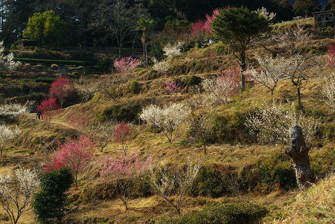 大井川を見下ろす梅園