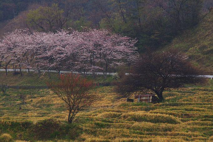 さくら咲く雨の棚田