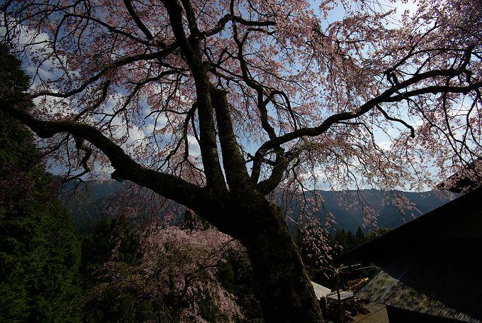 川根の枝垂れ桜