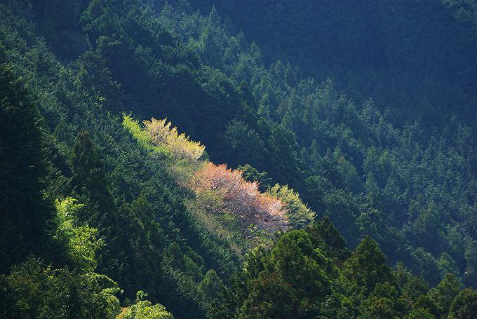 山桜、茶畑の桜
