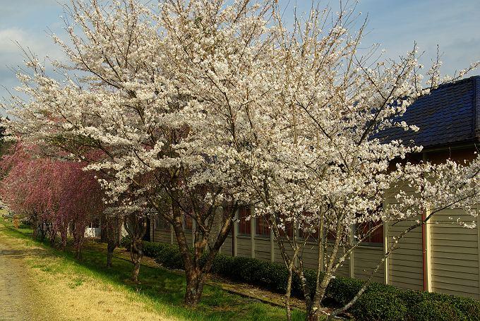桜 2008 其の四