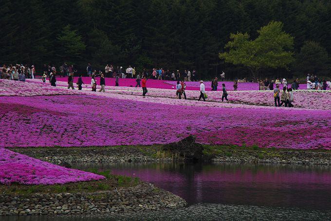 富士芝桜まつり 2