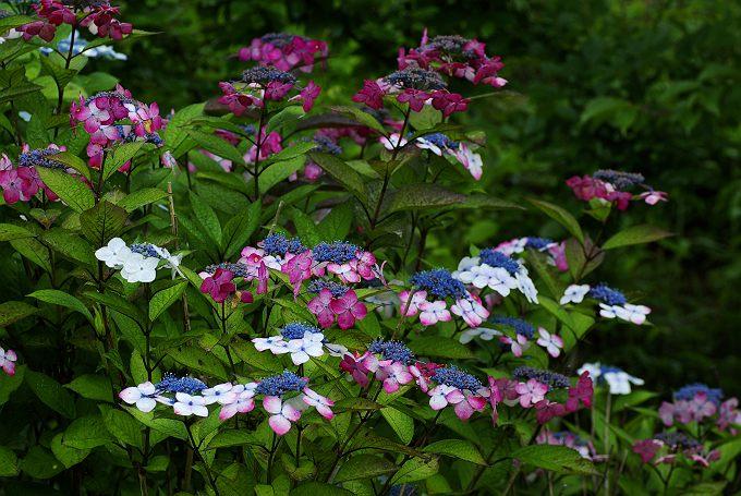 紫陽花が咲く風景