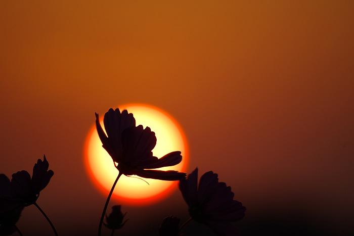 コスモスの咲く頃 2