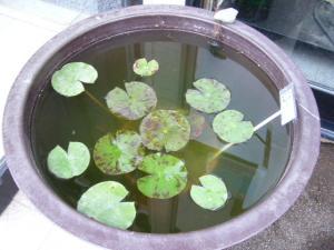 コロラド鉢