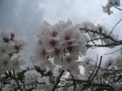 PICTsakura0064.jpg