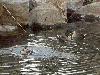 鴨も水浴び♪
