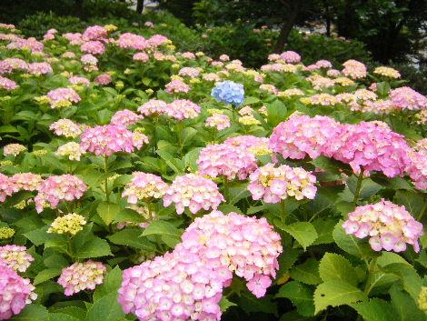 2008_0608横浜多摩川兵庫島自由が丘0017