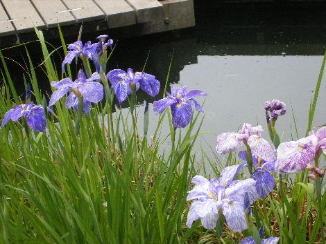 2008_0608横浜多摩川兵庫島自由が丘0020