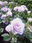 rose0008.jpg