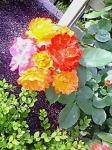 rose0009.jpg