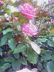 rose0013.jpg