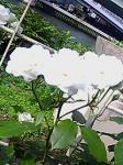 rose005.jpg