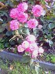 rose014.jpg