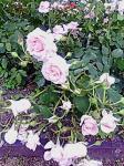 rose017.jpg