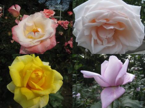 神代植物公園 秋のバラ