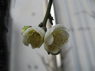 枝垂れ梅(白)