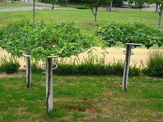 フルーツ公園 葡萄棚