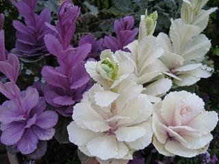 葉牡丹(切花品種)