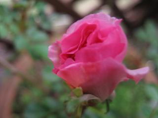 ピンク・サマー・スノー