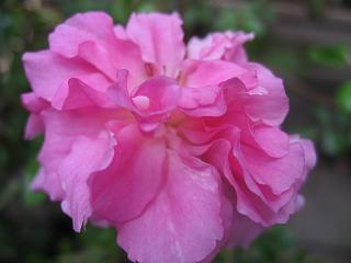ピンク・サマースノー