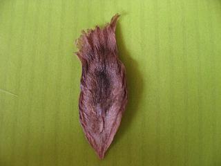 プルメリアの種