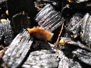 プルメリア 種