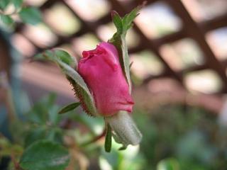 サマー・ピンク