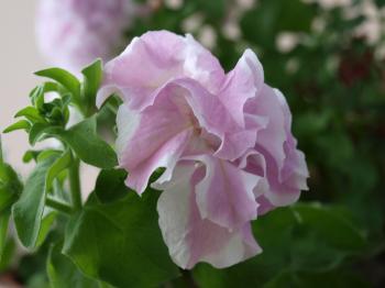 2008-6-22 008ベランダの花