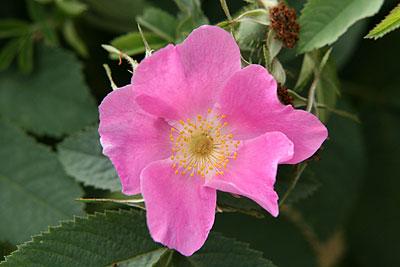神代rosa-mollis.