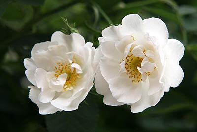 神代rosa-x-alba-suaveolens
